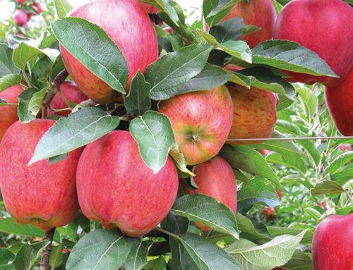 Cogli la mela del Trentino, la più buona