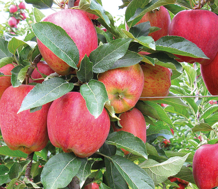Pick the Trentino apple, the most delicious of all